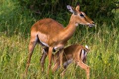 Dwa impalas: Matka i dziecko Tarangire, Tanzania Obrazy Stock