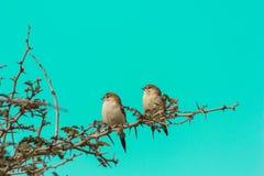 Dwa indianina srebnego rachunku małego ptaka umieszczający na cierniowatej gałązce oba obszycie z ukosa fotografia royalty free