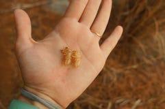 Dwa insekta, pupae od klują się na ręce, grać w krykieta fotografia stock