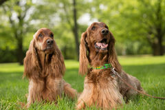 Dwa Irlandzkich legart psa kłama w trawie Zdjęcie Stock