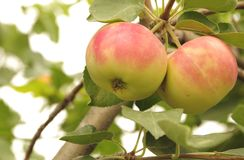 dwa jabłka obraz stock