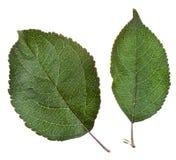 Dwa jabłko - zieleń liście zdjęcie royalty free