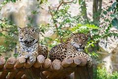 Dwa jaguara na szalunku Fotografia Royalty Free