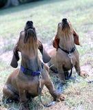 Dwa jamnika psa na gazonie są przyglądający w górę zdjęcie stock