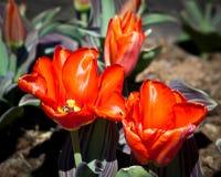 Dwa jaskrawego czerwonego tulipanu kwitnącego w ogródzie zdjęcia stock