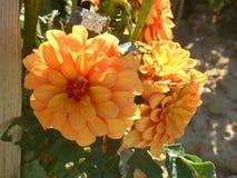 Dwa jaskrawego dalia kwiatu Zdjęcia Royalty Free