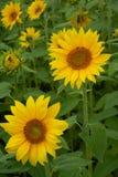 Dwa jaskrawy i piękni słoneczniki Zdjęcie Stock