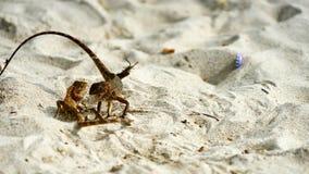 Dwa jaszczurek męska walka na piasku Fotografia Stock