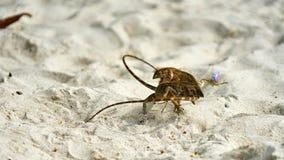 Dwa jaszczurek męska walka na piasku Obrazy Royalty Free