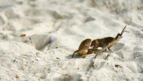 Dwa jaszczurek męska walka na piasku Obraz Royalty Free