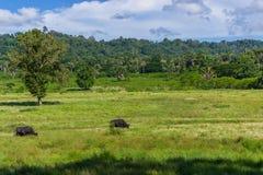 Dwa Jawa Bantengs Bos Javanicus w Purwo parku narodowym Niestety obrazy stock