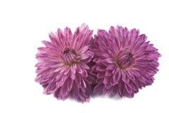 Dwa jesieni chryzantemy kwiat Obraz Stock