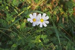 Dwa jesieni kwiat na białym tle zielona trawa Zdjęcie Stock