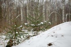 Dwa jodła w zima lesie fotografia royalty free
