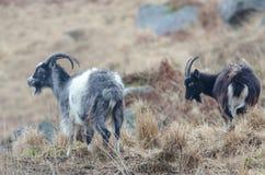 Dwa kózki stoi na małym kopu w Szkocja w Luty Hea Obrazy Stock