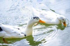 Dwa kaczek pływanie w stawie w lesie 1 Obrazy Royalty Free