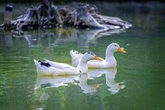 Dwa kaczek pływanie w stawie w lesie 6 Fotografia Royalty Free