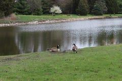 Dwa kaczka blisko jeziora Zdjęcia Royalty Free