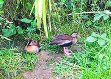 Dwa kaczka przyjaciela w lesie Obraz Royalty Free