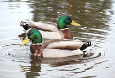 Dwa kaczki Zdjęcie Stock