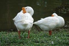 Dwa kaczki blisko jeziora z rzędu Fotografia Royalty Free