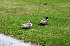 Dwa kaczki chodzą z rzędu, przez zielonego gazon w miasto parku fotografia stock
