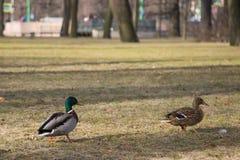 Dwa kaczki chodzi na suchej trawie Obrazy Royalty Free