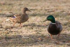 Dwa kaczki chodzi na suchej trawie Zdjęcia Royalty Free