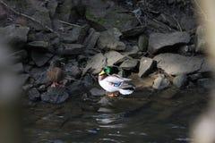Dwa kaczki cieszy się subshine Obrazy Royalty Free