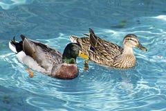 Dwa kaczki Drake i szturman Pływają Wpólnie Obraz Royalty Free