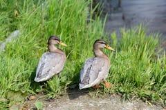 Dwa kaczki na brzeg rzeki obrazy royalty free