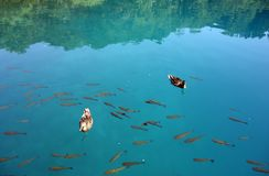 Dwa kaczki na wodzie zdjęcia royalty free