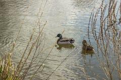 Dwa kaczki pływa w stawie na słonecznym dniu Fotografia Royalty Free