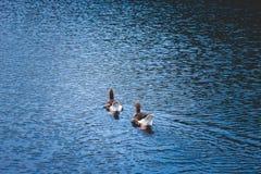 Dwa kaczki pływają w jeziorze obrazy stock