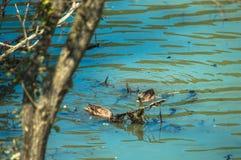 Dwa kaczki pływa w wodzie Zdjęcia Royalty Free