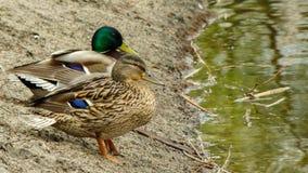 Dwa kaczki patrzeje w odległości Obrazy Royalty Free