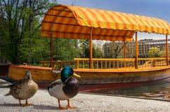 Dwa kaczki przed małą łodzią Zdjęcie Stock