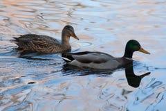 Dwa kaczki w stawie Obraz Stock