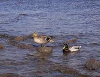 Dwa kaczki w wodzie, jeden stoją na skale obrazy stock