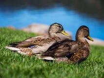Dwa kaczki w Zielonej trawie Blisko jeziora fotografia royalty free