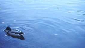 Dwa kaczorów pływanie w spokój wodzie zbiory wideo