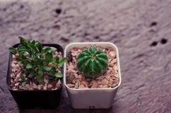 Dwa kaktus na czarnym drewna świetle Obrazy Stock