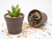 Dwa kaktusy Obrazy Royalty Free