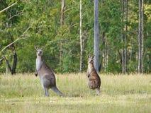Dwa kangura przy krawędzią drewno Obrazy Stock