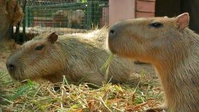 Dwa kapibar jeść wyśmienicie niektóre trawy na ziemi zbiory wideo