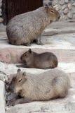 Dwa kapibary Obrazy Royalty Free