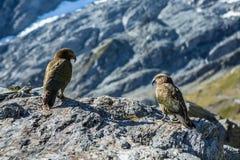 Dwa Kea na rockowym pobliskim kaskada comberze w Mt Aspirować obywatela P Zdjęcie Royalty Free