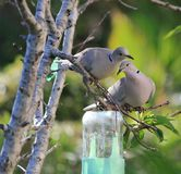 Dwa Kołnierzastej gołąbki umieszczającej w drzewie Zdjęcia Stock