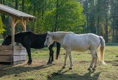 Dwa koń, czarny i biały, na paśniku obraz royalty free