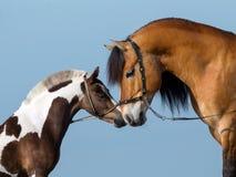 Dwa końskiej głowy na błękitnym tle Obraz Stock
